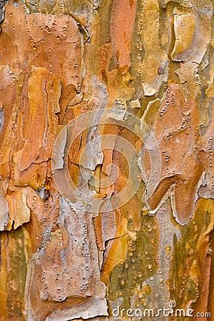 Tree Bark - Platanus acerifolia