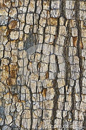 Free Tree Bark Texture Royalty Free Stock Image - 72982306