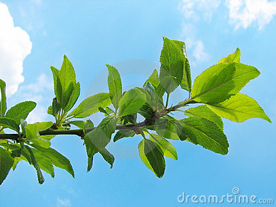 Stock Photos  Tree branch with green leavesTree Branch With Leaves
