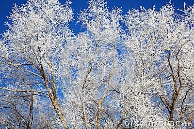 Tree branches frozen in december