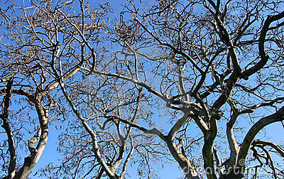 Tree Branches Isolated against Blue Sky