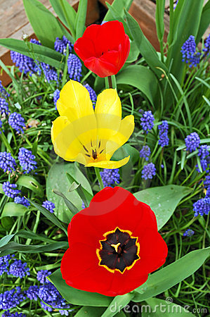 Free Tree Bright Tulips, Red And Yellow, Between Blue Small Flowers I Stock Photography - 773362