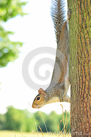 Tree climbing squirrel