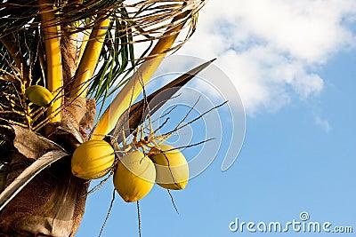 Tree Coconuts on Tree Against Sky