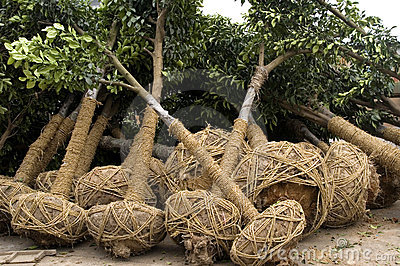 Tree for cultivation