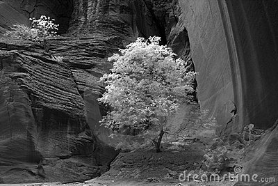 Tree in a Desert Canyon