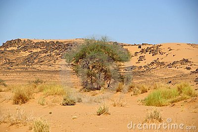 Tree in the desert, Libya