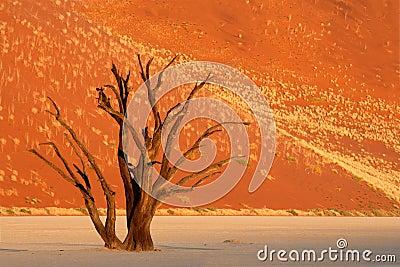 Tree and dune, Namibia