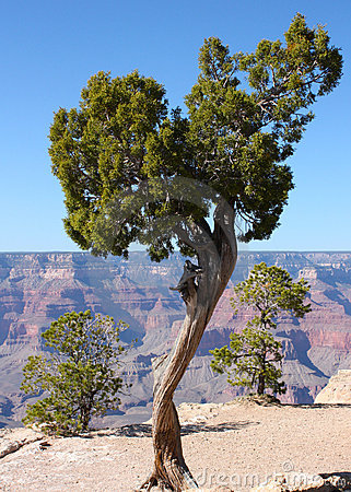 Tree on the edge of the Grand Canyon in Arizona