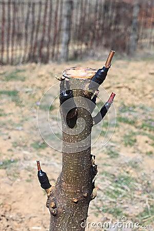 Tree engraftment