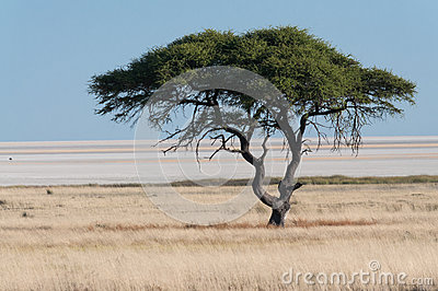 Tree at Etosha Pan