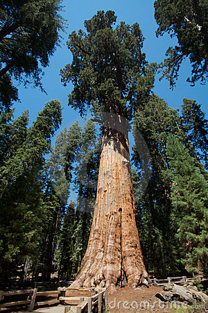 Tree för general sherman