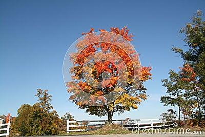 Tree in fall foliage