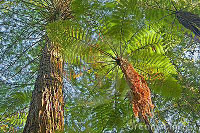 Tree Fern in jungle surroundings