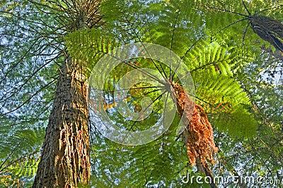 Tree Fern in jungle surroundings