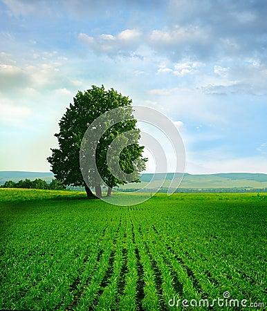 Tree on the field