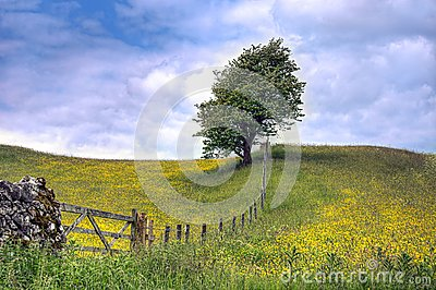 Tree in field of Buttercups