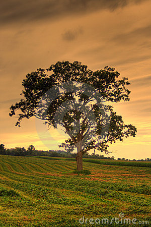 Tree in Field HDR
