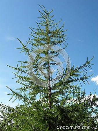Tree a fir