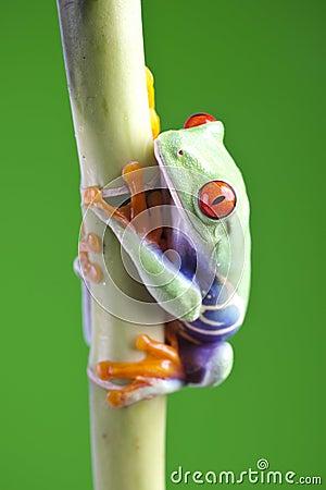 Free Tree Frog Stock Photo - 13765160