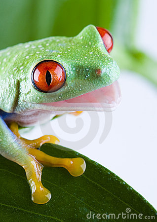 Free Tree Frog Royalty Free Stock Photography - 1819077