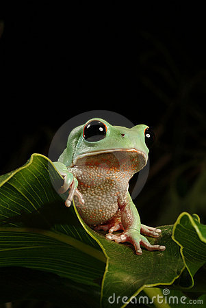 tree frog royalty free stock photography image 250917