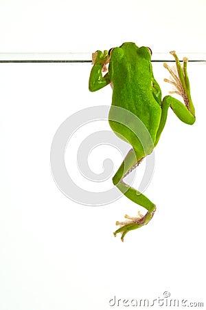 Free Tree Frog Stock Photography - 32864482
