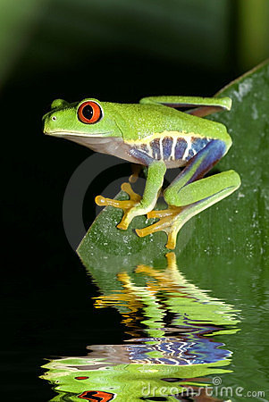 Free Tree Frog Royalty Free Stock Images - 7727259