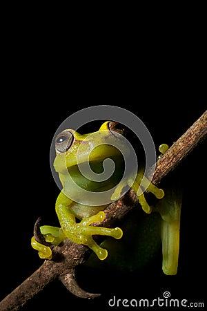 Free Tree Frog Amazon Tropical Rainforest Amphibian Royalty Free Stock Image - 9798006