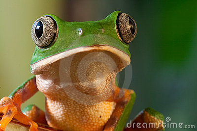 tree frog with big eyes tropical rain forest