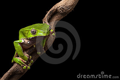 Tree frog in Brazil amazon rain forest