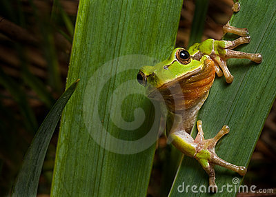 tree frog europe amphibian hyla animal macro
