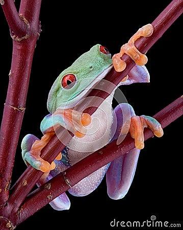 Tree frog falling asleep