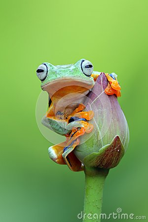 Free Tree Frog, Flying Frog On The Lotus Bud Stock Photos - 104859833