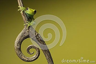 Tree frog on green background copyspace amphibian
