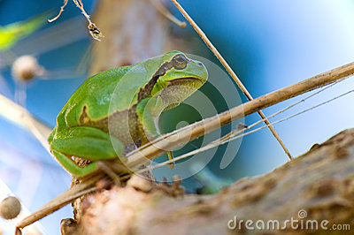 Tree frog Hyla arborea