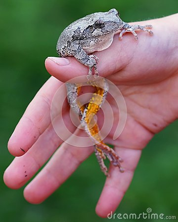 Free Tree Frog In Hand Of A Boy Royalty Free Stock Photo - 37541255