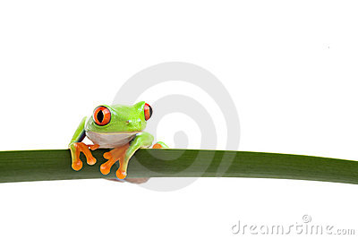 Tree frog on a leaf