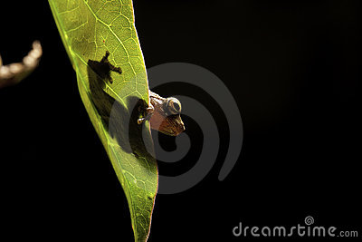 Tree frog leaf amphibian hiding amazon rain forest