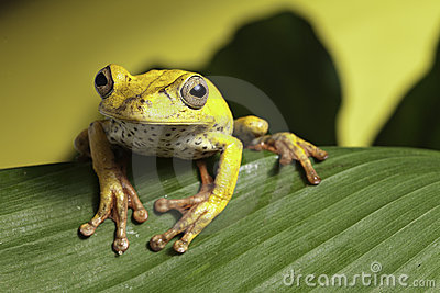 Tree frog on leaf amphibian in wild amazon jungle