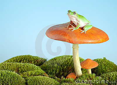 Tree frog on mushroom