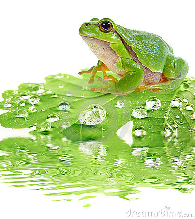 Free Tree Frog On Dewy Leaf Royalty Free Stock Photos - 21292058
