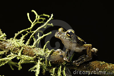 Tree frog rain forest animal big eyes exotic