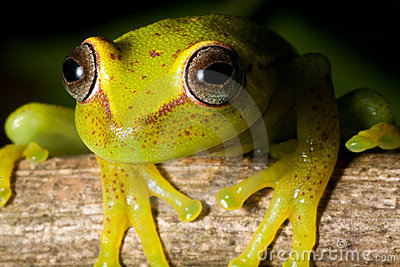 tree frog rain forest yellow amphibian red eye