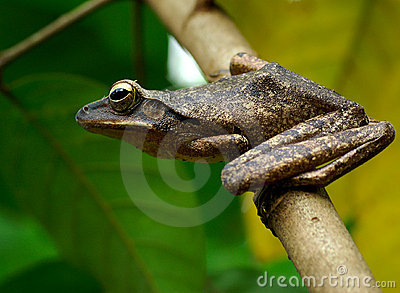 Tree Frog: Ready to Jump