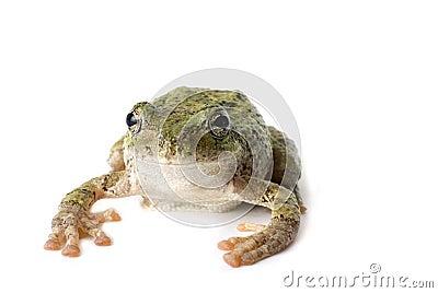 Tree Frog Staring