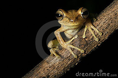tree frog tropical rain forest amazon night
