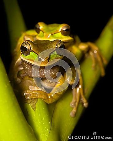 Free Tree Frogs Stock Image - 9813911