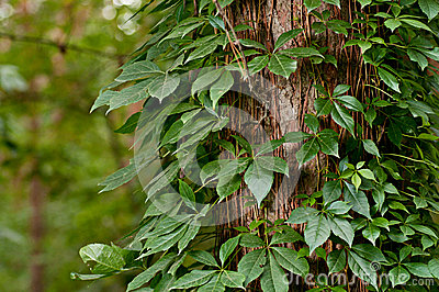 Tree fully covered with ivy leaves
