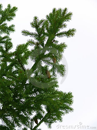 Tree  fur-tree  branches